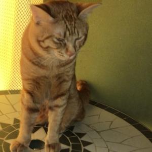 マイペットクリーナー・人間かよ!編 ねこのきもち 茶トラ猫の恋太郎と私