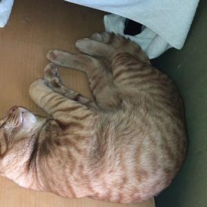 石けん編 ねこのきもち 茶トラ猫の恋太郎と私