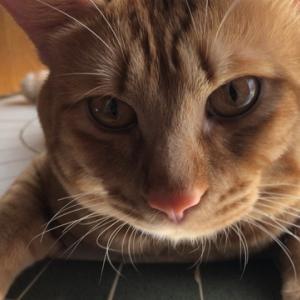 コロナの怖さに打ち勝とう編 ねこのきもち 茶トラ猫の恋太郎と私