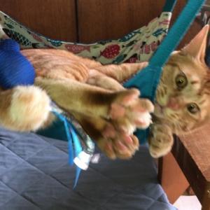 ハンモック編 ねこのきもち 茶トラ猫の恋太郎と私