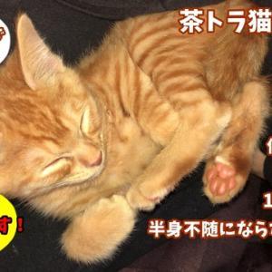 茶トラ猫の恋太郎と私 恋太郎はしゃぐ編