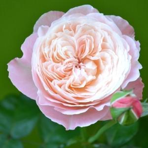 バラ 環~美空~ 剪定 開花の記録|2020/6/20 開花の様子 画像|和バラ ローズファームケイジ Rose Farm KEIJI|roselog