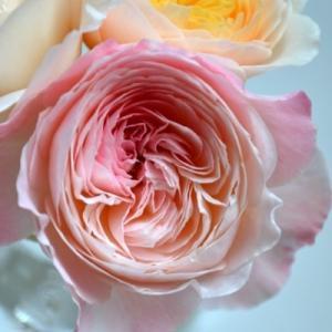 バラ 環~美空~ 剪定 開花の記録|2020/7/28 夏の開花 切り花 画像|和バラ ローズファームケイジ Rose Farm KEIJI|roselog