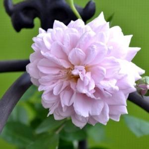 バラ レイニーブルー 剪定 開花の記録 鉢植え|2020/8/9 真夏のレイニーブルー 画像|タンタウ Rainy Blue|roselog
