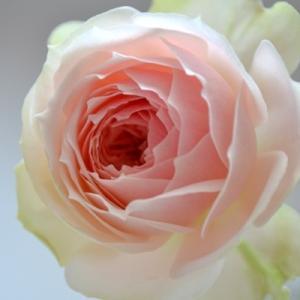 バラ パシュミナ 挿し木 剪定 開花の記録|2020/5/24 真夏のパシュミナ 画像|コルデス Pashmina|roselog