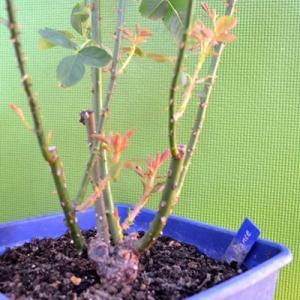 バラ ラフランス 剪定 開花の記録 鉢植え|2020/8/13 シュートの出し方 真夏のバラ画像 画像|ギヨー La France|roselog