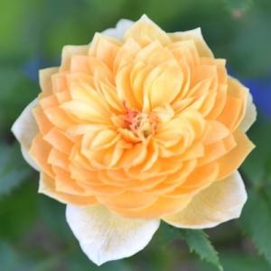 ミニバラ モカフェローズ|2020/8/26 夏の様子とハダニと薬害|roselog モカフェローズ HITAX|バラの剪定 開花の記録 画像