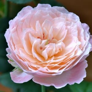 バラ 環~美空~|2020/9/29 初秋の開花 画像|和バラ ローズファームケイジ|薔薇 剪定 開花の記録 roselog