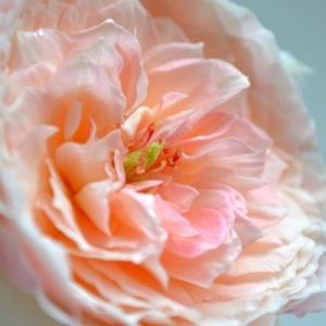 秋のバラと園芸日誌|シャリマー 環~美空~ 挿し木angel レイニーブルー|2020/10/1~10/3  切り花 画像|roselog