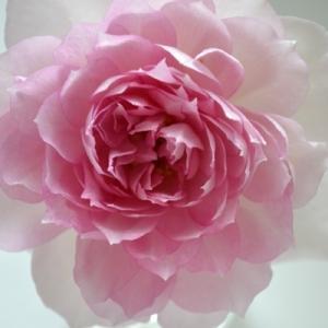 秋のバラ Deepに咲く|シャリマー フラワーデコレーター永島 パシュミナ モカフェローズ|2020/10/12  切り花 画像|roselog