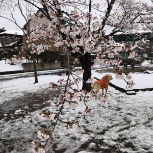 🌸ジュリーさんのお花見🌸雪見桜
