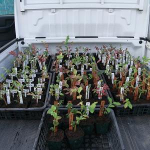 今日は朝からの雨!今年植えた苗の鉢替えをする事にしました。