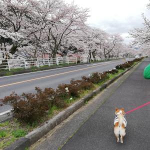 病院と桜恵みいっぱいの1日