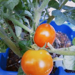 学校から持ち帰ったミニトマトが色づいてきた!
