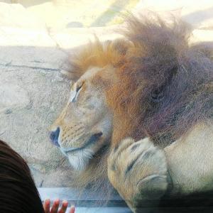 お仕事とライオン