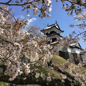 コロナでも福島。満開の桜の下、城を仰ぐ 3 - 白河小峰城跡・三重櫓から桜之門跡へ(2021年4月9日/1日め)