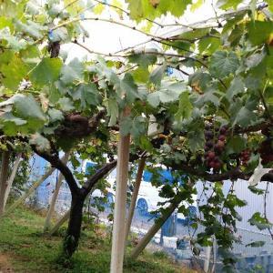 大塚葡萄園