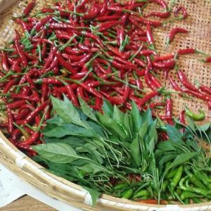 唐辛子の収穫