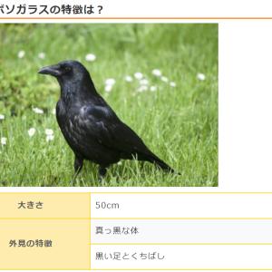 カラスの雛を一時保護→放鳥それまでの経緯と色々まとめ