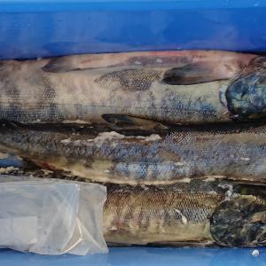 鮭トバ作り