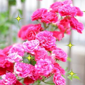 見事に咲いたバラの花(*´∀`*)