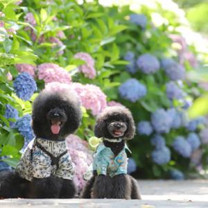 紫陽花と、梅と うめ(*´艸`*)