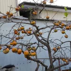 今年は何時になく豊作の柿ですが、今、来ている台風が心配です。