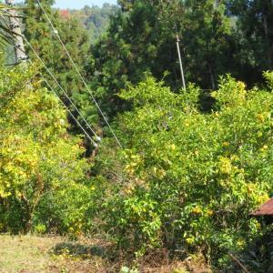 近々柚子取りをする予定で今日は周囲の草刈りに行ってきました。