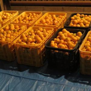 なんとか柚子取りが終わりました。