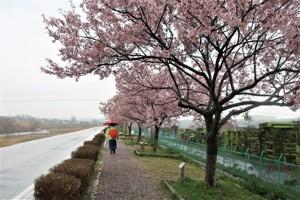 おの桜づつみ回廊を訪ねて