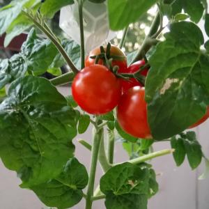 ミニトマト収穫とゴマドレ