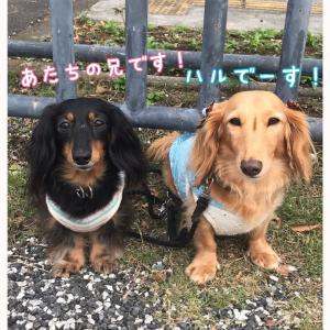 ★駒沢わんこ祭り〜異母兄妹はるくん★
