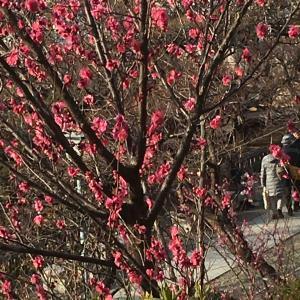 季節を楽しむ 梅の香り