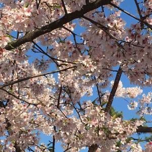 桜で 還暦祝い