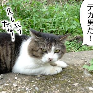 新379話 【 デカ男の職業特権?】〜田代島ねこ便り〜2019!