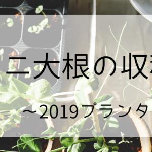 ミニ大根の収穫~2019プランター栽培9~