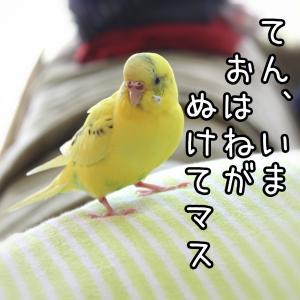 てんちゃんのプレミアムな羽をめぐって