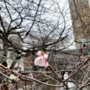 桜の開花とマスクの話