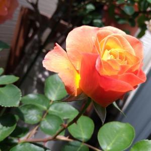 バラの組み立て