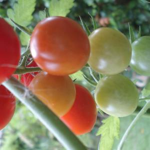 貴方は知っていますか?世界のトマト缶詰実態
