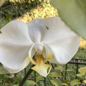 300円の胡蝶蘭、開花