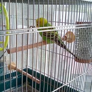 ガサオちゃんは換羽で放鳥お休み