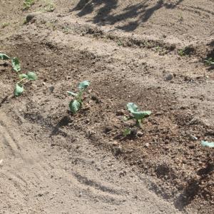 ブロッコリー ハイツを植えました。