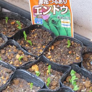サヤエンドウ発芽&収穫はリーフレタス