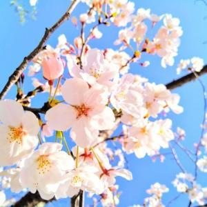 大岡川プロムナードの桜。。。♪(横浜」)