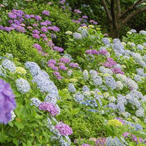 山いっぱいの紫陽花