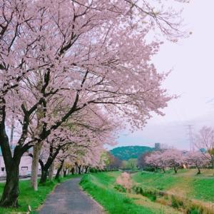 白生地&マスクゴム&桜