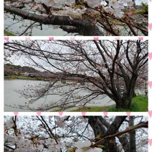 桜の様子・・・