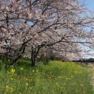 桜が満開になった・・・・外食(* ̄▽ ̄)  ゴロ~~玉ねぎ収穫
