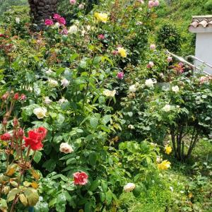 アナゴの釜めし・・・・・名残りのバラが~アイコ色づく・・・・  まる